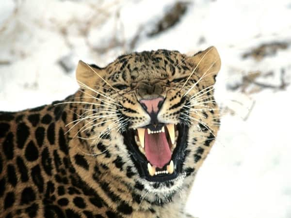 40 Pictures of Leopard in their Wild Nature 3