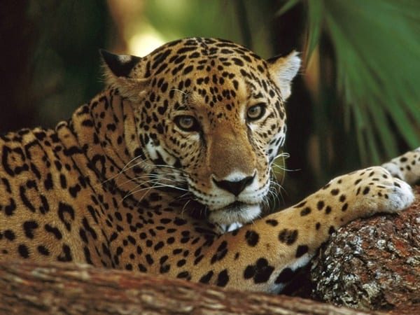 40 Pictures of Leopard in their Wild Nature 5