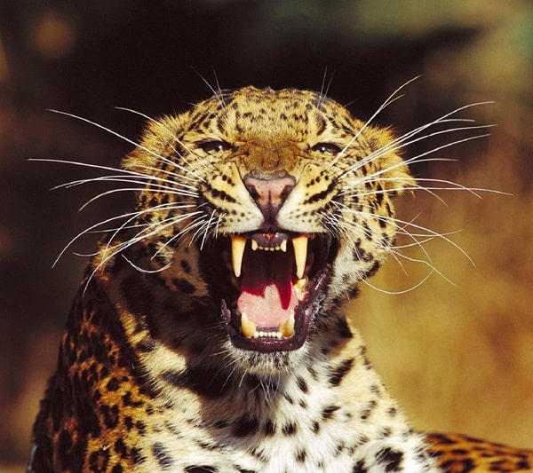 40 Pictures of Leopard in their Wild Nature 8