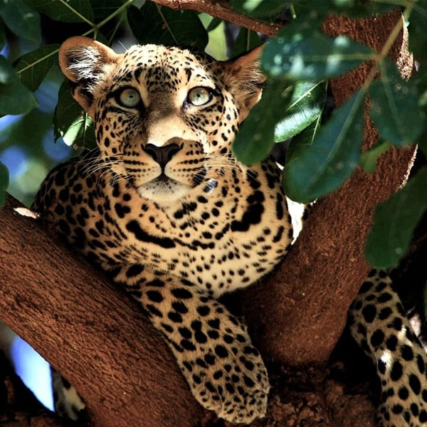 40 Pictures of Leopard in their Wild Nature 9
