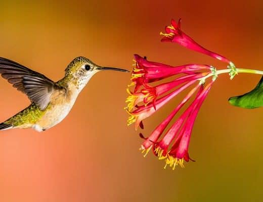 How to Attract Hummingbird to your Garden Feature Image