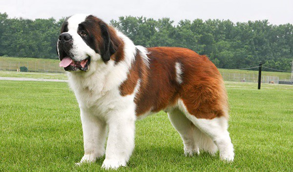 Top 10 Mountain Dog Breeds 1
