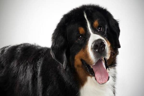 Top 10 Mountain Dog Breeds Feature Image