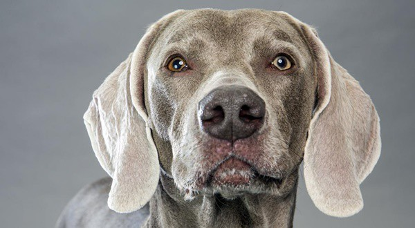 Weimaraner Dog Breed Information and Pictures 10