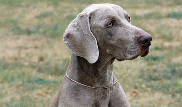 Weimaraner Dog Breed Information and Pictures 2