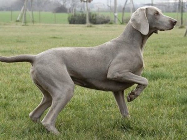 Weimaraner A Good Family Dog