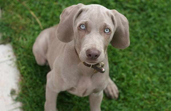 Weimaraner Dog Breed Information and Pictures 4