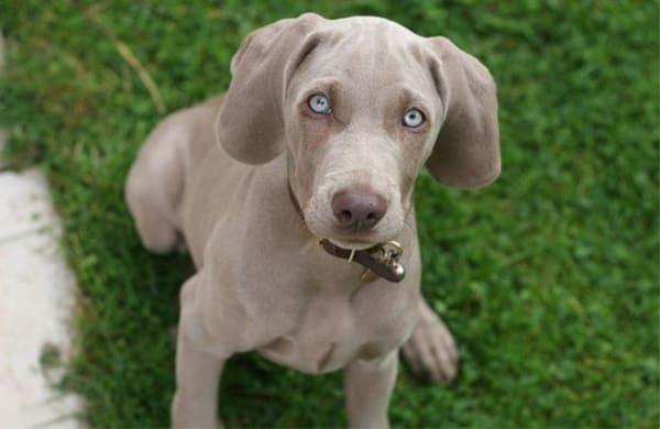 Large Dog Breed Weimaraner