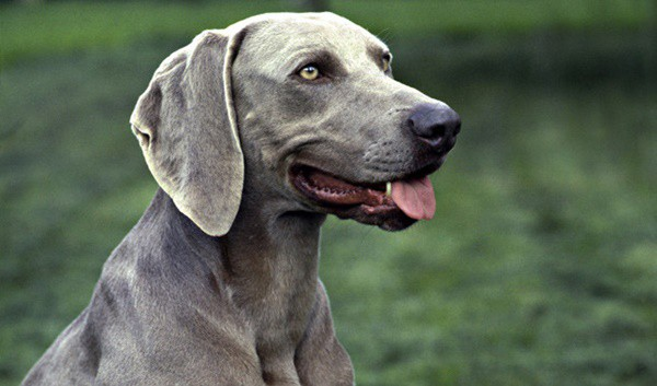 Weimaraner Dog Breed Information and Pictures 7
