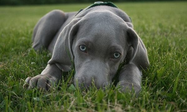 Weimaraner Dog Breed Information and Pictures Feature Image