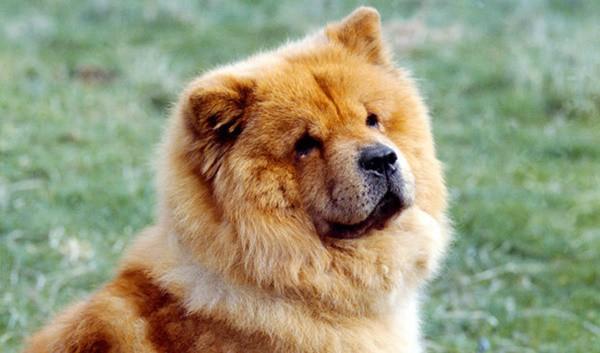 10-dog-breeds-that-look-like-bears-3