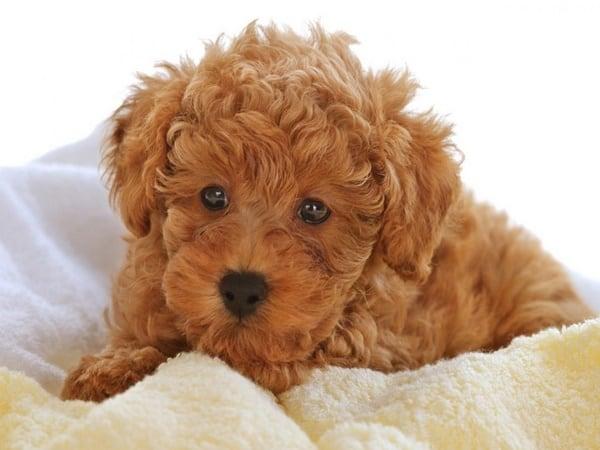 10-dog-breeds-that-look-like-bears-4