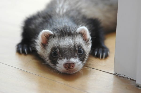 10-interesting-facts-that-you-dont-know-about-ferrets-1