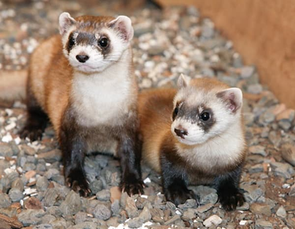 10-interesting-facts-that-you-dont-know-about-ferrets-2