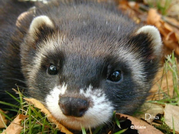 10-interesting-facts-that-you-dont-know-about-ferrets-5