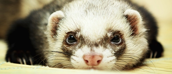 10-interesting-facts-that-you-dont-know-about-ferrets-6