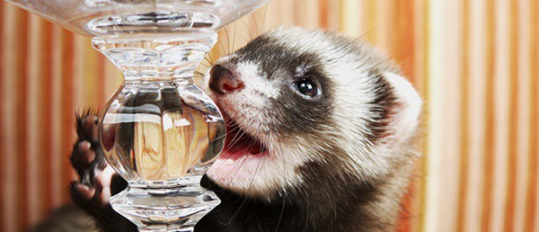 10-interesting-facts-that-you-dont-know-about-ferrets-8
