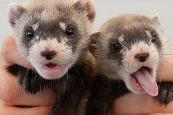 10-interesting-facts-that-you-dont-know-about-ferrets-feature-image
