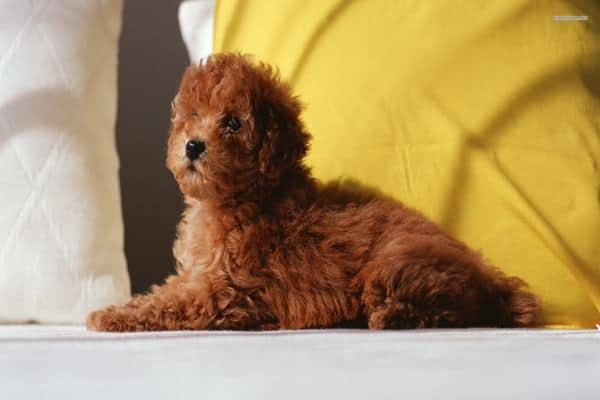 40-amazing-poodle-dog-puppy-pictures-feature-image