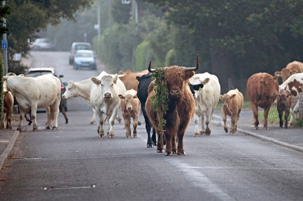 40 Breathtaking Pictures of Roads Full of Animals 15