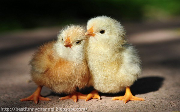 40 Funny and Cute Ideas Of Chicken Pictures 10