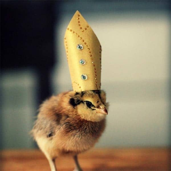 40 Funny and Cute Ideas Of Chicken Pictures 16