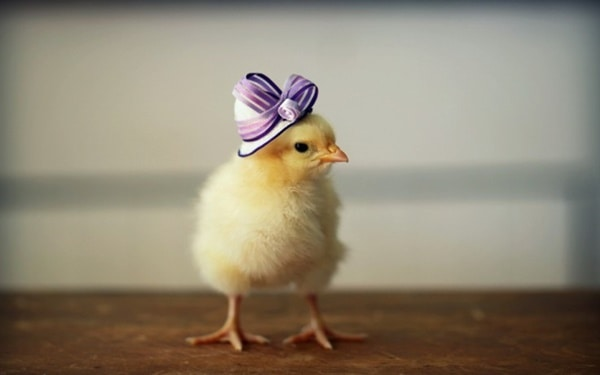 40 Funny and Cute Ideas Of Chicken Pictures 21