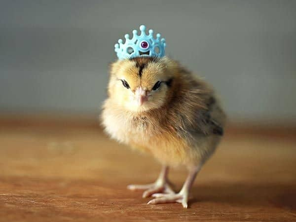 40 Funny and Cute Ideas Of Chicken Pictures 22