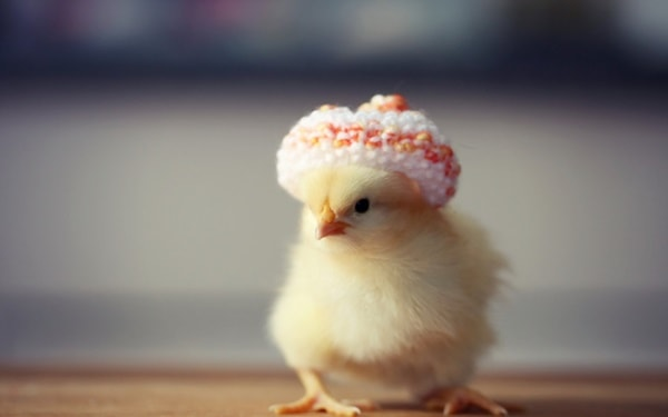 40 Funny and Cute Ideas Of Chicken Pictures 23