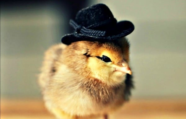 40 Funny and Cute Ideas Of Chicken Pictures 26