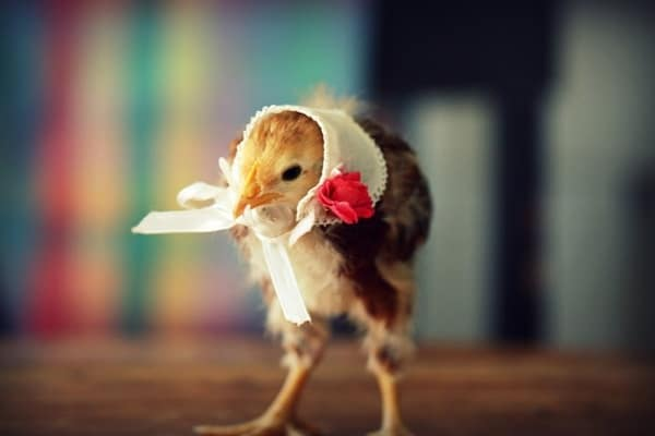 40 Funny and Cute Ideas Of Chicken Pictures 32