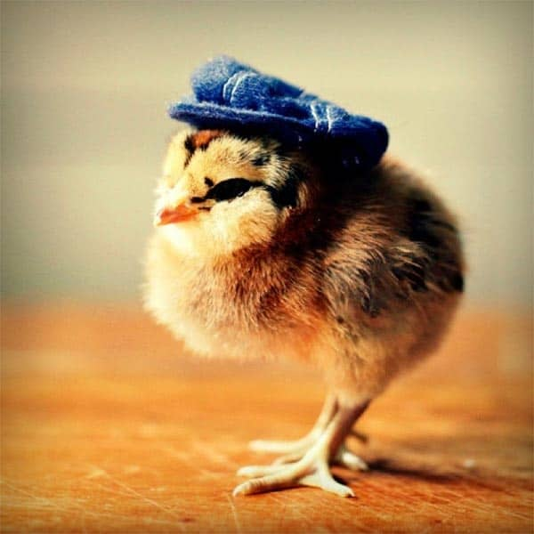 40 Funny and Cute Ideas Of Chicken Pictures 39