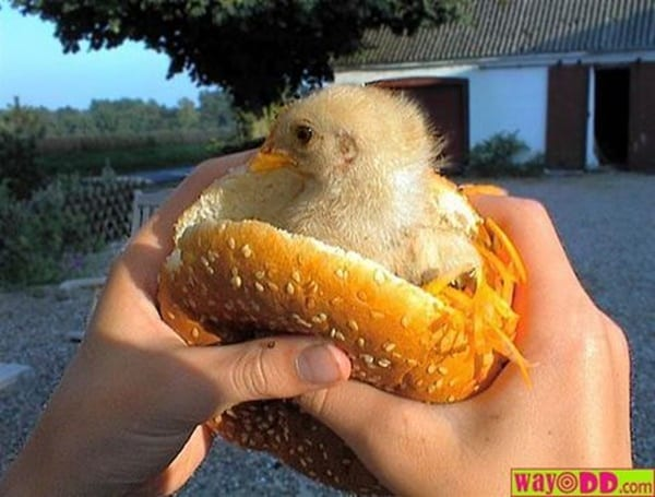 40 Funny and Cute Ideas Of Chicken Pictures 4