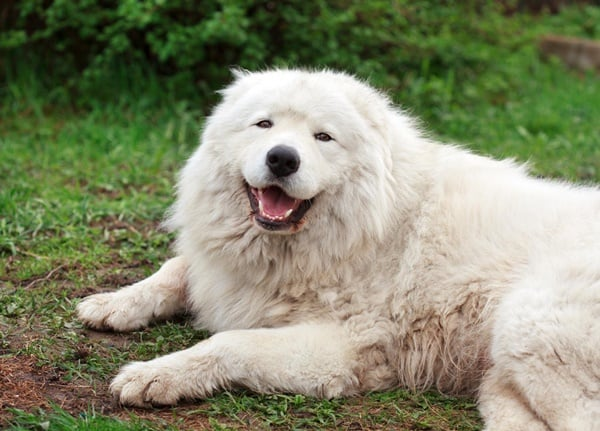 Top 10 Mountain Dog Breeds 10