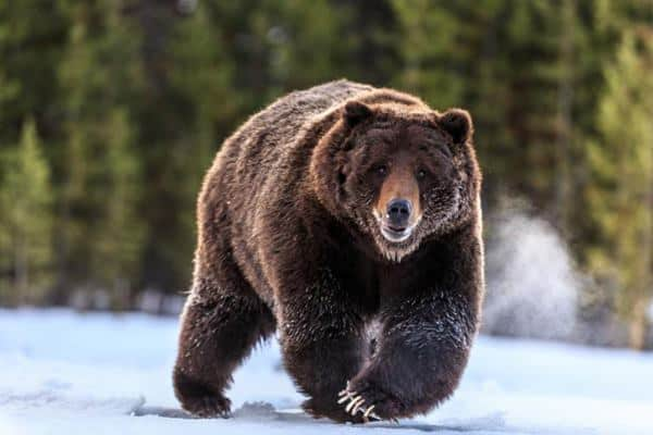 20-fun-facts-about-grizzly-bears-feature-image