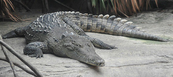 25-american-crocodile-facts-for-kids-1