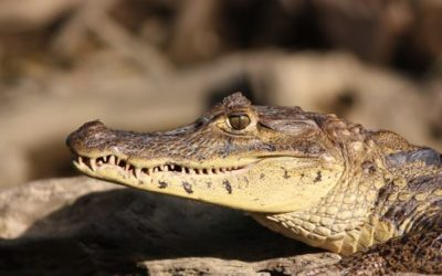 25-american-crocodile-facts-for-kids-feature-image