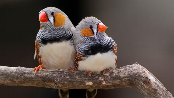 25-interesting-zebra-finches-facts-2