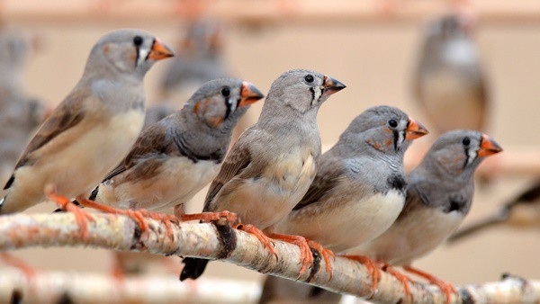 25-interesting-zebra-finches-facts-3