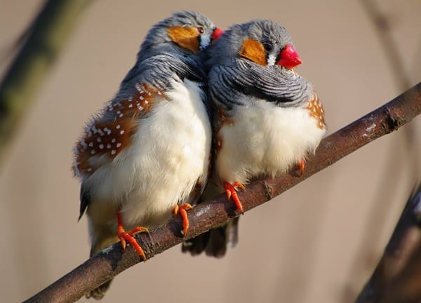 25-interesting-zebra-finches-facts-5