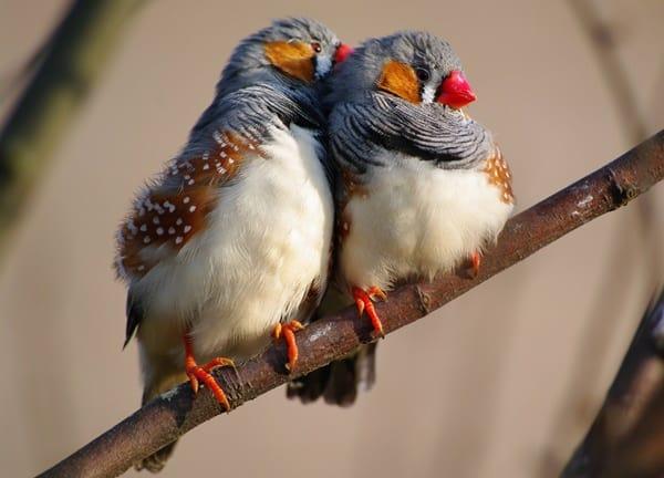 25-interesting-zebra-finches-facts-5
