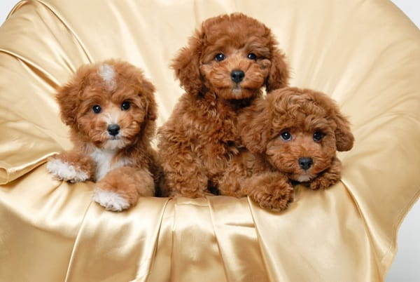 40-amazing-poodle-dog-puppy-pictures-1