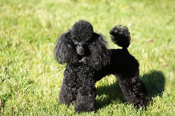 40-amazing-poodle-dog-puppy-pictures-10