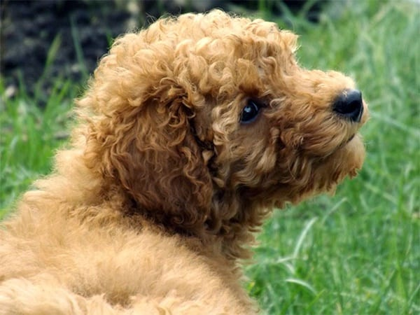 40-amazing-poodle-dog-puppy-pictures-12