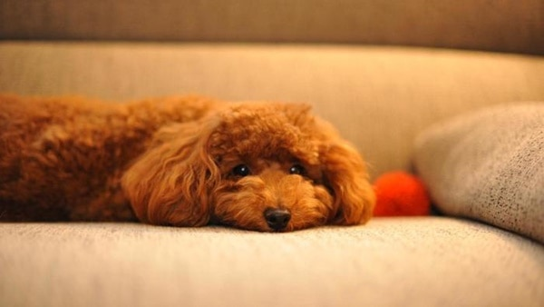 40-amazing-poodle-dog-puppy-pictures-13
