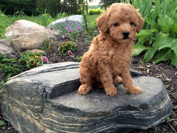 40-amazing-poodle-dog-puppy-pictures-19