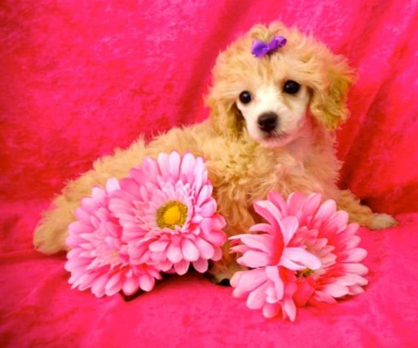40-amazing-poodle-dog-puppy-pictures-20
