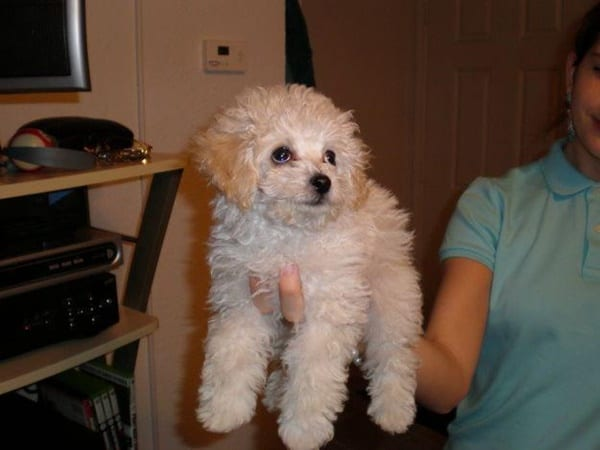 40-amazing-poodle-dog-puppy-pictures-22