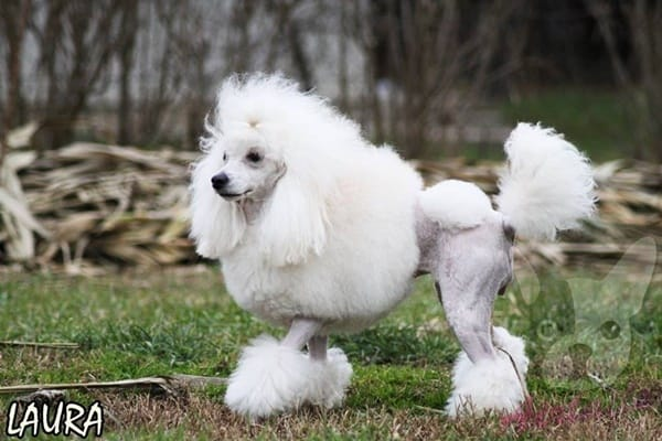 40-amazing-poodle-dog-puppy-pictures-32
