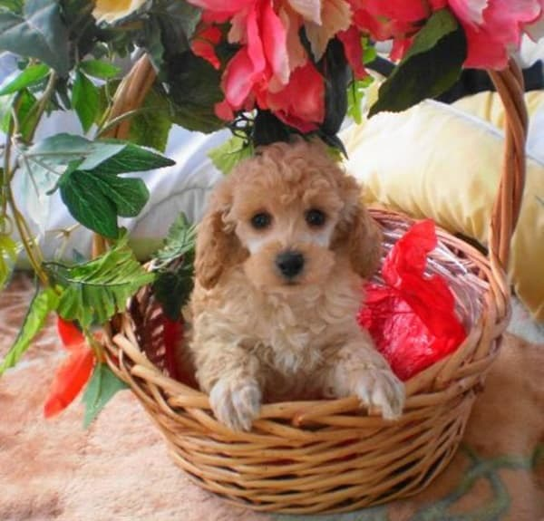 40-amazing-poodle-dog-puppy-pictures-34